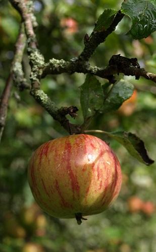 pomme automne 2015